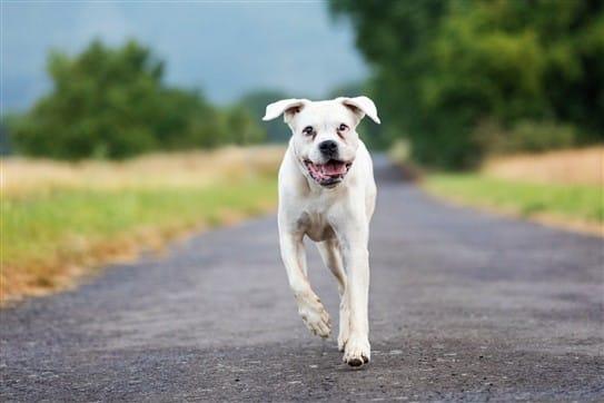 Hund - Boxer - beim Laufen